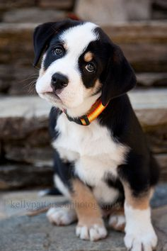Quincy, the 10 week old english bulldog, greater swiss mountain dog mix By Kelly Patterson photography, via Flickr
