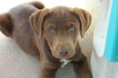 Roy - Chesapeake Bay Retriever/Pointer mix - 8 weeks old - Adams County Pet Rescue - Othello, WA. - http://www.adamscountypetrescue.com/ - https://www.facebook.com/pages/Adams-County-Pet-Rescue/150515418349631 - https://www.petfinder.com/petdetail/29114574/