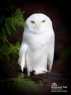 Snowy Owl at Northwest Trek Wildlife Park in Eatonville, Washington.