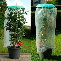 Tomato and pepper plants love a safe and bright location. The so important protection against rain or hail offers your plants Tomato and pepper plants love a safe and bright location. The so important protection against rain or hail offers your plants Vegetable Garden Design, Veg Garden, Edible Garden, Garden Plants, Pepper Plants, Growing Vegetables, Growing Tomatoes, Garden Projects, Backyard Landscaping