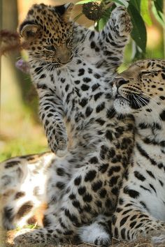¡¡Vénga!!...¿¿Jugamos??    ; )   ; )   C´mon!!... Let´s play!!                         ~~Amur Leopard Mother and Cub by Ami 211~~