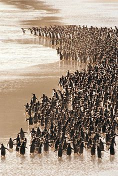 Gentoo penguins heading to sea, Pygoscelis papua, Falkland Islands