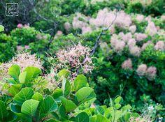 Cotinus coggygria (aka sommacco, sommaco, scotano, cotino), Karst Region, Northern Italy