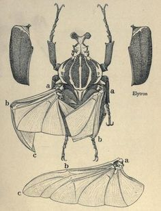 "is-a-heart: "" Goliath Beetle, dissected to show the mode of folding of the wings when at rest. Goliath beetles (Goliathus giganteus) like almost all other beetles, possess a reinforced first pair of."
