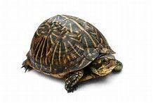 Risultato immagine per tartarughe