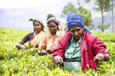Sri Lanka : Tea