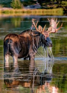 and break clear away, once in awhile, and climb a mountain or spend a week in the woods. Moose Pictures, Nature Pictures, Animal Pictures, Moose Hunting, Bull Moose, Wildlife Photography, Animal Photography, Beautiful Creatures, Animals Beautiful