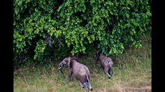 Apesar da proibição, há 23 anos, do comércio internacional de marfim, elefantes continuam sendo mortos para este fim. Acima, foto aérea de uma manada de elefantes africanos na Reserva Presidencial de Wonga Wonghe, no Gabão. Foto: © WWF-Canon /James Morgan