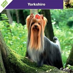 Calendrier chien 2017 - Race Yorkshire - Affixe Edition