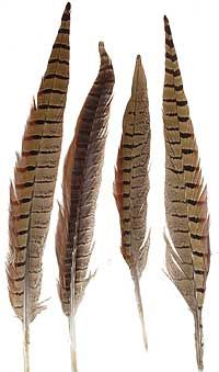 Rare Brown Tip Stripe Pheasant Real Feathers Craft Hat Arts Decorations Party UK