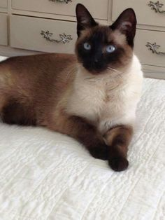 best photos and images ideas about siamese cat - most affectionate cat breeds #SiameseCat