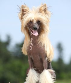 CHINESE CRESTED PERSONALITY: Lively, alert, andaffectionate. Click to learn more about lifestyle, grooming, etc. | #WOOFipedia #WOOF