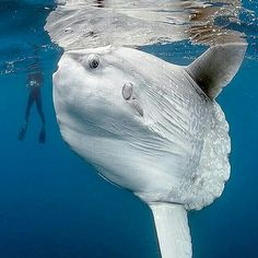 Ocean Sunfish (Mola mola) are the largest bony fish in existence, measuring up to across and weighing lbs. Their favorite food is jellyfish. They have no tail. At night they often come to the ocean's surface for hours at a time, barely moving. Underwater Creatures, Ocean Creatures, Beautiful Creatures, Animals Beautiful, Fauna Marina, Water Animals, Weird Ocean Animals, Strange Animals, Wale