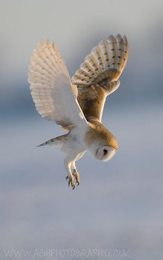 Hover mode - Barn Owl by Tony House Beautiful Owl, Animals Beautiful, Cute Animals, Wild Animals, Comedy Wildlife Photography, Animal Photography, Photography Awards, Lechuza Tattoo, Tyto Alba