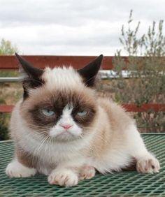 Grumpy Cat, a gata mal humorada -  Lifestyle - Virgula