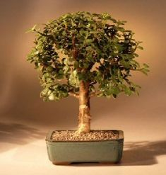 Gardening  Baby Jade Bonsai Tree  MediumPortulacaria Afra * Find out more  on Amazon website by clicking the image