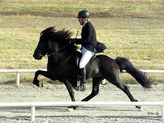 Icelandic horse, breathtaking tolt.