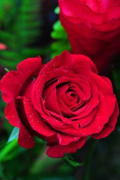 valentine rose jack vettriano
