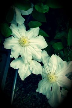 clematis by Sailers Greenhouse, via Flickr