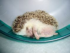 effect of exercise on hedgehog... this is so my hedgie!