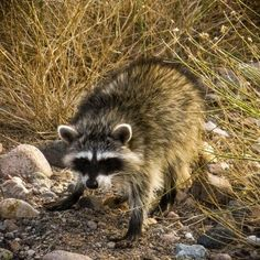 Yes, as a matter of fact, we do have Raccoons here in the Sonoran Desert.  Photo by Ranger Mark