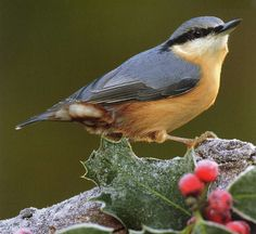 Red-Breasted Nuthatch (only saw one of these one winter)
