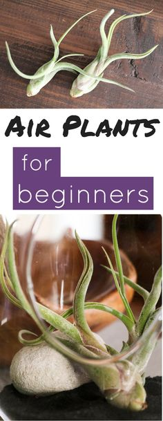 Plant 101 The easiest plants to care for and the perfect beginner houseplant!The easiest plants to care for and the perfect beginner houseplant! Succulents Garden, Garden Plants, Indoor Plants, Planting Flowers, Indoor Succulents, Hanging Air Plants Diy, Easy House Plants, Easy Plants To Grow, Indoor Herbs