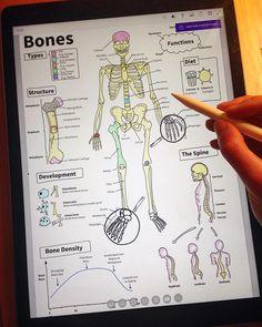 Adding the final labels to my piece on the basic anatomy of the human skeleton! Bones bones bones 💀 #ipadpro #ipadprodrawing #applepencil #procreate #medicina #studyingmedicine #futuredoctor #medicalschool #medicalstudent #anatomy #skeleton #bones