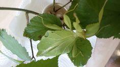 Adult female of phillium philippinicum