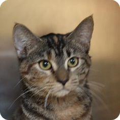 Westampton, NJ - Domestic Shorthair. Meet C-62032 Scarlett, a kitten for adoption. http://www.adoptapet.com/pet/12146822-westampton-new-jersey-kitten