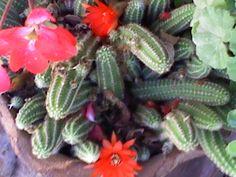 mas cactus florecidos