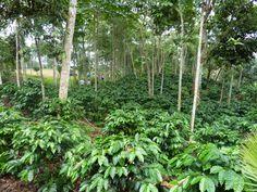 Peru- coffee field