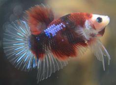 live-betta-fish-beautiful-SAMURAI-KOI-HALFMOON-PLAKAT-awesome-specimen