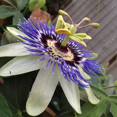 Passion flower in my back yard.