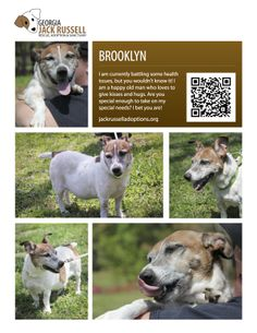 Today's featured Jack Russell rescue for sponsorship and adoption or foster soon - Brooklyn!