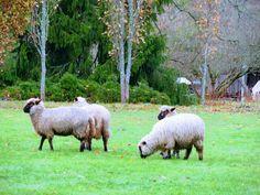 Goats, Lamb, Animals, Animais, Animales, Animaux, Animal, Goat, Baby Sheep