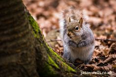 Grey squirrel peering round a tree.  You can buy this image & see my other wildlife images by clicking on the thumbnail.