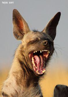 Laughing hyena by Tejas Soni.