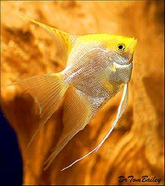 Aquarium Fish, Tropical Fish, and Goldfish for Sale Online Tropical Freshwater Fish, Freshwater Aquarium Fish, Tropical Fish, Underwater Creatures, Underwater Life, Betta, Salt Water Fish, Cool Fish, Wale