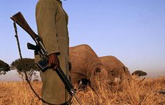 Some black rhinoceros (Diceros bicornis) are under 24 hour armed guard due to risk of poaching ... / ©: Martin Harvey / WWF-Canon