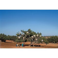 Photograph  Ian Cox @wallkandy 'Strangest things' A goat tree spotted in #Morocco on the road to #Essaouira. #Wallkandy #travel #fb #f #t #p #goatsgrowontrees