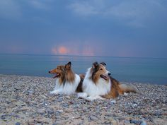 Rough Collie (s) Buddy & Zack, via Flickr.