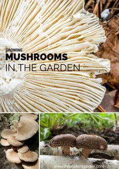 Growing Mushrooms in the Garden is part of How To Grow Mushrooms Better Homes And Gardens - Growing mushrooms is a way to improve soil, increase garden efficiency and enjoy healthy homegrown produce Here are 5 ways to grow your own mushrooms Garden Mushrooms, Edible Mushrooms, Stuffed Mushrooms, Wild Mushrooms, Mushroom Spores, Mushroom Cultivation, Grow Your Own Mushrooms, Growing Mushrooms, Organic Gardening