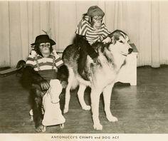 Antonucci's Chimps