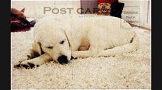 Bébé dort... Labrador Retriever, Puppies, Winter, Dogs, Animals, Labrador Retrievers, Animais, Animales, Animaux