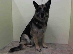 ~~SWEET 12 YR OLD SENIOR TO BE DESTROYED 7/21/14~~ Manhattan Center   My name is ROCKY ROAD. My Animal ID # is A1006949. I am a neutered male black and brown germ shepherd mix. The shelter thinks I am about 12 YEARS old.  I came in the shelter as a OWNER SUR on 07/16/2014 from NY 10473, owner surrender reason stated was OWNER SICK.