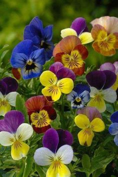 "Terrific Absolutely Free Pansies flowers Style Pansies would be the colorful flowers with ""faces."" A cool-weather favorite, pansies are ideal f Amazing Flowers, My Flower, Pretty Flowers, Colorful Flowers, Flower Power, Johnny Jump Up, Flowers Nature, Flower Wallpaper, Pansies"