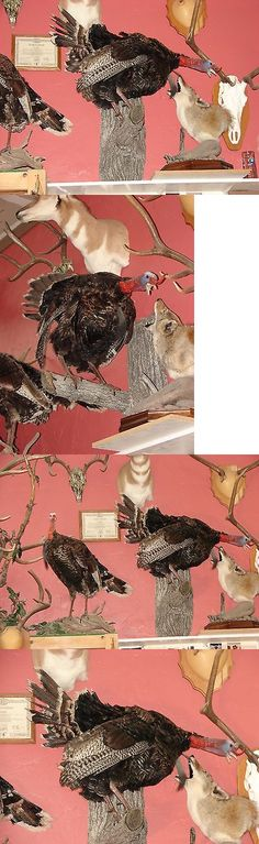 Birds 71123: Gobbling Standing Turkey Wall Mount Taxidermy Hunting Wild Forest Birds Tom -> BUY IT NOW ONLY: $400.0 on eBay!