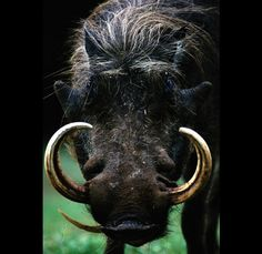 Ivory Hog Tusk,