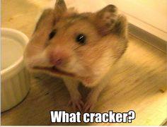 what cracker hamster LOL funny-stuff Cute Little Animals, Cute Funny Animals, Funny Cute, Hilarious, Funny Pics, Funny Stuff, Funny Animal Pictures, Cute Pictures, Tierischer Humor